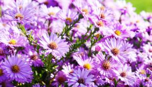 jak pěstovat astry
