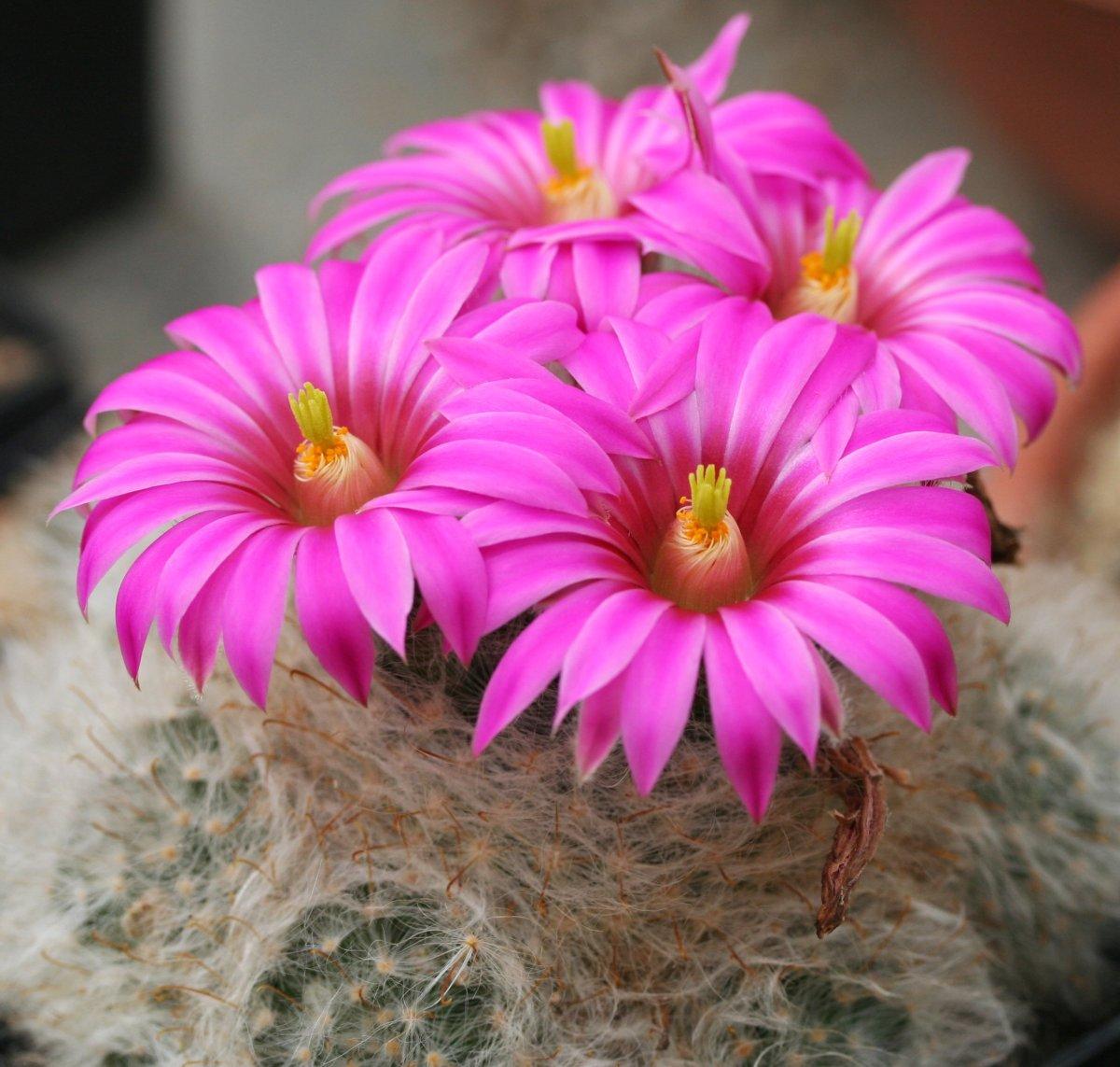 Mammillaria kaktus sukulent