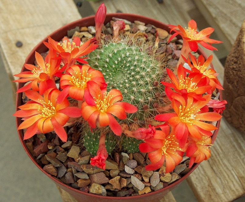 rebutia kaktus sukulent