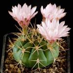 gymnocalycium kaktus sukulent