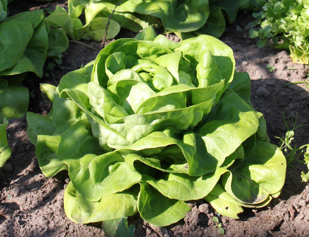 Hlávkový salát (Lactuca sativa L. var.capitata)