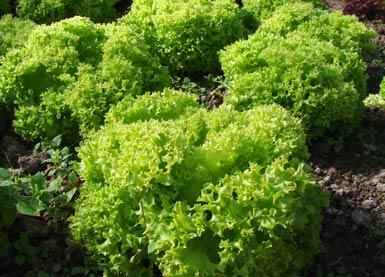 Listový salát Lactuca sativa L. var. crispa