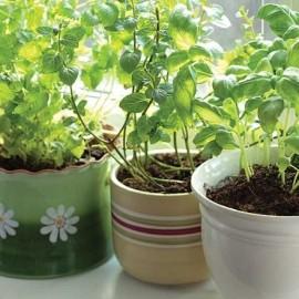 bylinky, bylinková zahrádka
