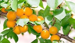 výsadba meruňky