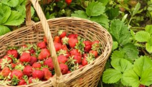 jak sadit jahody